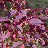 Syringa pubescens subsp patula 'Miss Kim', Miss Kim lilac