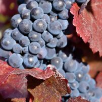 Vitis vinifera 'Purpurea', Purple-leaf grape