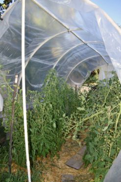 Tomatoes thriving in a tall polytunnel in Gayle Larson's Poulsbo garden