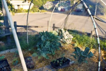 Fiberglass window screening used to shade and protect brassicas from pests in Gayle Larson's Poulsbo garden