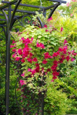 Creeping gloxinia — Lophospermum erubescens