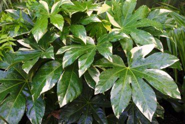 Variegated false aralia — Fatsia japonica 'Variegata'