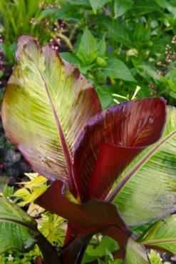 Red banana — Ensete ventricosum 'Maurelii'