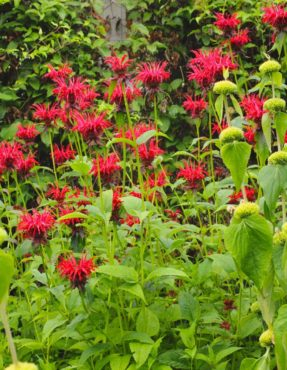 Bee balm — Monarda 'Jacob Cline'