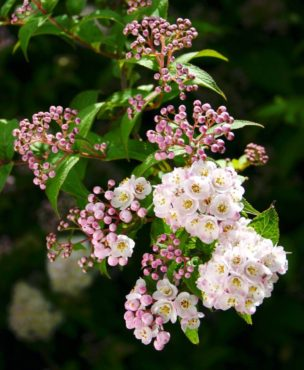 Deutzia corymbosa