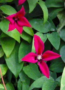 Clematis texensis 'Gravetye Beauty'