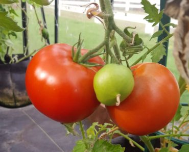 Debbie Mihali's small greenhouse produces delicious tomatoes and more all winter long.