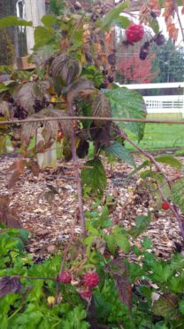 Mihali's everbearing raspberries produce through late fall and spring.