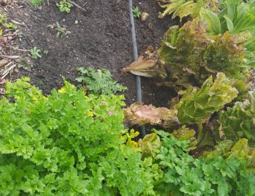 Schroeter's lettuce and herbs do particularly well in late fall and early spring.