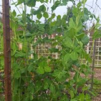 Schroeter's string of peas winds its way up sturdy posts and field fencing.