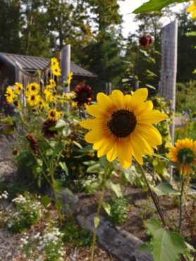 Wacky Nut farm community garden. Flowers attract many pollinators and bring joy to the gardeners.