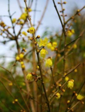Chimonanthus praecox var. lutea