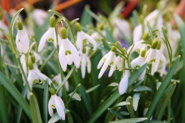 Snowdrops (Galanthus ssp.)