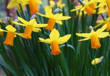 Daffodils (Narcissus 'Jetfire')