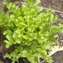 Green loose-leaf lettuce