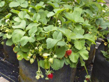 Rainier strawberries