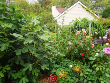 Figs, dahlias and peaches, oh my!
