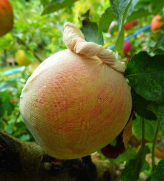 Nylon stocking over apples deters apple maggot and codling moth.