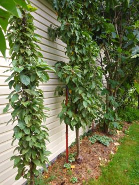 Columnar apples are the answer for gardeners who want apple trees but are short on space.