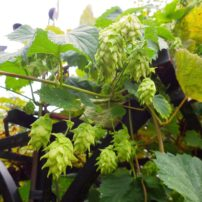 Hops also does well on a trellis.
