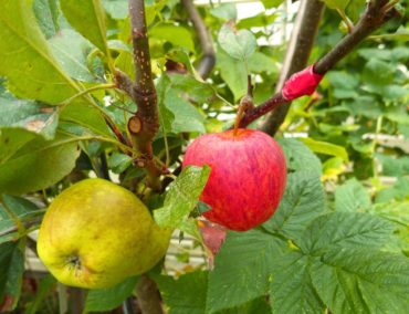 Grafting allows multiple fruit varieties to grow on a single tree.