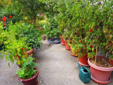 Peppers and tomatoes thrive in containers in the reflected heat in front of the Murphys' garage.