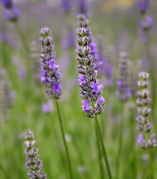 English lavender (Lavandula angustifolia), with its unique flavoring, is used for beer, liqueurs and other drinks.