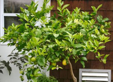 Meyer lemon tree is tender and grown in pots outdoors and brought inside as a houseplant for winter.