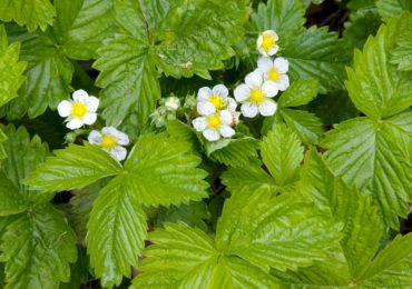 Alpine strawberry makes a dense groundcover.