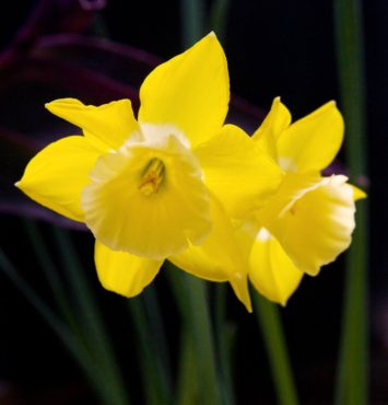 Narcissus 'Hillstar'