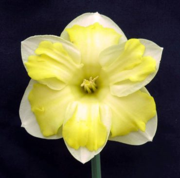 'Butter Paddy' (Photo courtesy Ringhaddy Daffodils)