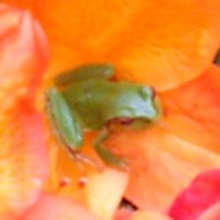Tiny native frog
