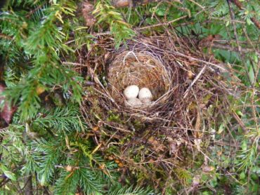 Dark-eyed junko nest with eggs