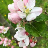 Apple blossoms waiting for bees
