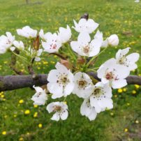 Pear blossoms need to be pollinated.