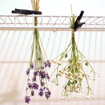 Hanging flowers upside down to dry is an easy method. All but the woodiest stems should be dried this way to prevent drooping and to help retain original form. Clutching bundles with rubber bands keeps them together even as stems shrink with loss of moisture. Here clothespins are used to hold lavender (Lavandula sp.) and feverfew (Tanacetum parthenium) in place while drying on a wire shelf.