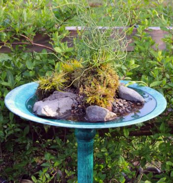 Corkscrew rush (Juncus effuses 'Spiralis') planted in kokedama style lives happily with its feet constantly wet in this birdbath.