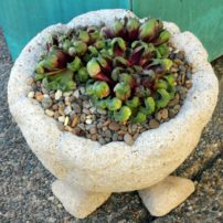 Hypertufa pot holds an unusual hen and chicks (Sempervivum 'Fame Montrose').