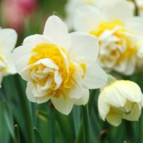 Daffodil Lingerie (Photo courtesy Longfield Gardens)