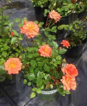 Three-year-old plant