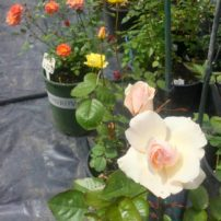 Early bloomers from the hybridizing program