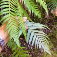 The legendary New Zealand silver fern