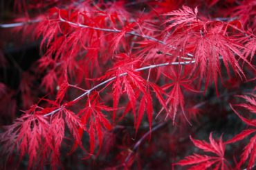 In the local climate, the Japanese maples (Acer palmatum, Acer shirasawanum and Acer japonicum) are most popular because the trees, such as this Acer palmatum 'Tamukeyama,' are beautiful in almost every season.