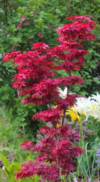 Take heart if you have a small garden, as this Acer palmatum 'Twombly's Red Sentinel' fits into tight spaces.