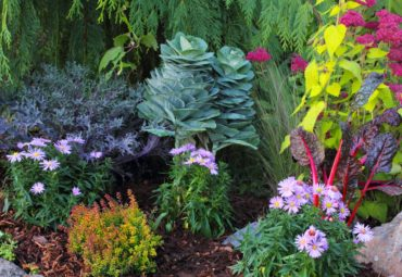 This autumn garden relies heavily on foliage with flowering cabbages, Agastache rugosa 'Golden Jubilee,' Swiss chard and Lonicera 'Twiggy.' Flowers are Sedum 'Autumn Joy' and Aster 'Daydream.'