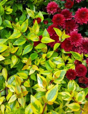 The exceptional foliage of Abelia 'Kaleidoscope' shines through every season and pairs well with a rich-red chrysanthemum.