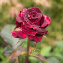 The Drainfield and the Rose