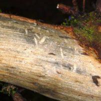 Typical squirrel damage on camperdown elm