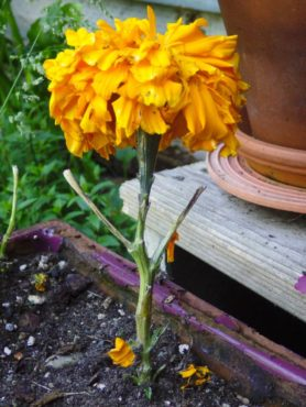 This marigold was stripped of all its leaves by a slug or snail.