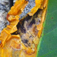 "A leaf miner ""patch"" torn open to reveal the larva's ""frass."" The miner appears to be long gone."